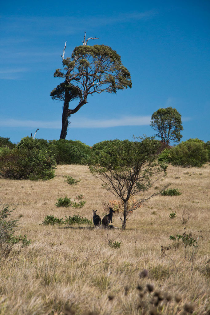 Camping Roadtrip durch Australien – Bingie Bingie Point Kaengurus | SOMEWHERE ELSE