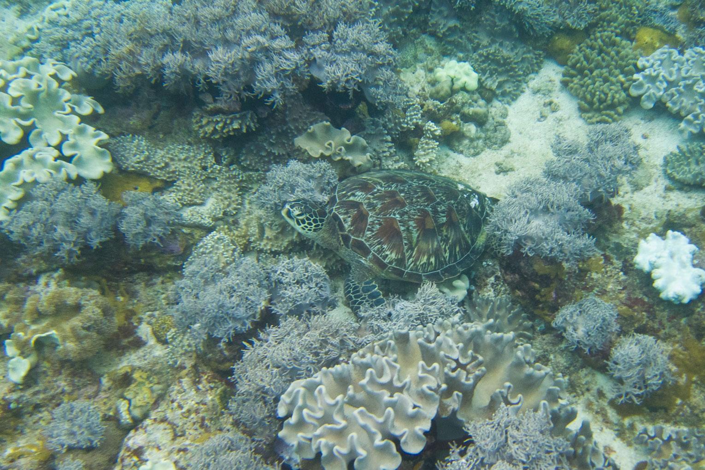 Schildkroete auf Apo Island – Endlich Tauchen lernen | SOMEWHERE ELSE