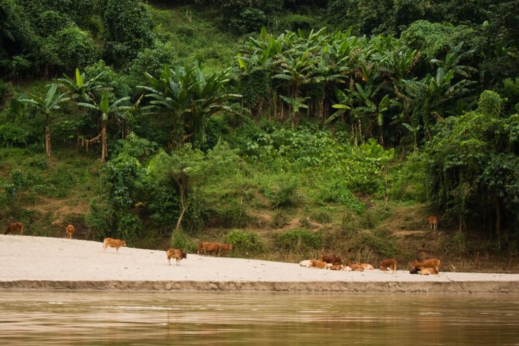 Zeit zum Nachdenken – Kühe am Ufer vom Mekong | SOMEWHERE ELSE