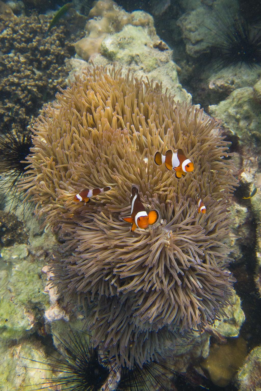 Clownfische vor Ko Kradan – Thailändische Inseln | SOMEWHERE ELSE
