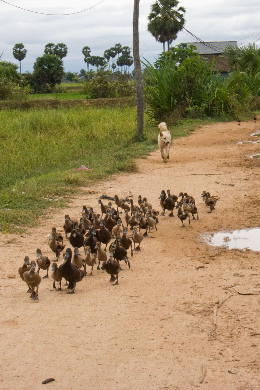 Leben in Kambodscha – Entenschar   SOMEWHERE ELSE