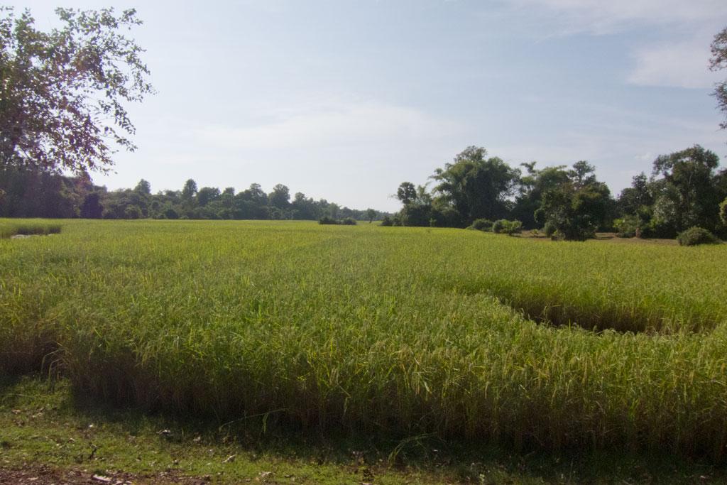 Leben in Kambodscha – Reisfeld auf dem Land | SOMEWHERE ELSE