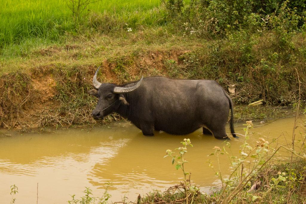 Leben in Kambodscha – Wasserbüffel   SOMEWHERE ELSE