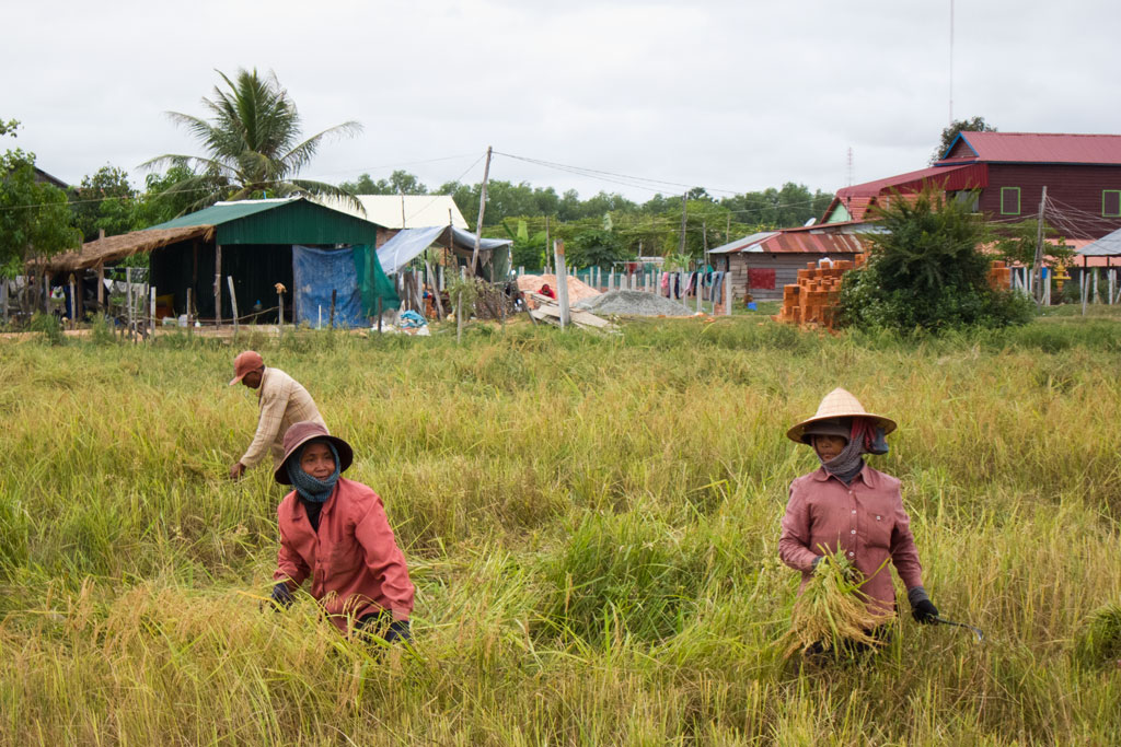 Leben in Kambodscha – Menschen arbeiten auf einem Reisfeld | SOMEWHERE ELSE