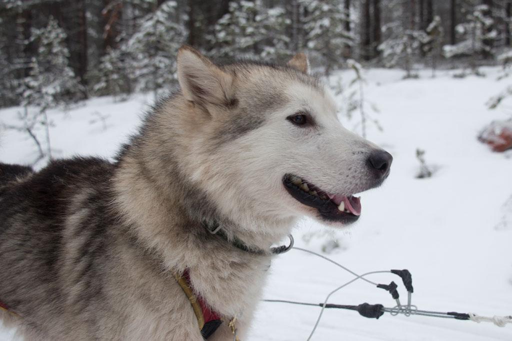 Mit Schlittenhunden durch Schwedens Winterlandschaft – Alaskan Malamute Nook | SOMEWHERE ELSE