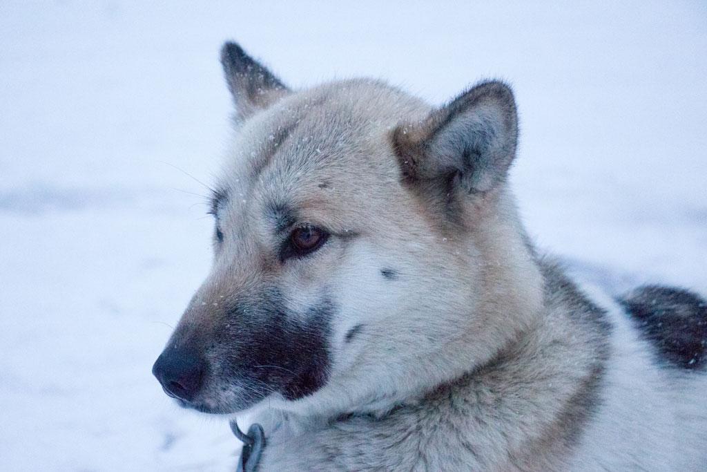 Mit Schlittenhunden durch Schwedens Winterlandschaft – Grönlandhündin Arnag | SOMEWHERE ELSE