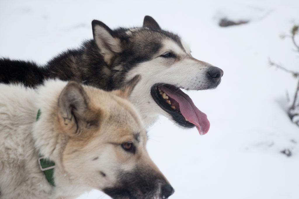 Mit Schlittenhunden durch Schwedens Winterlandschaft – Schlittenhunde Arnag und Baldy | SOMEWHERE ELSE