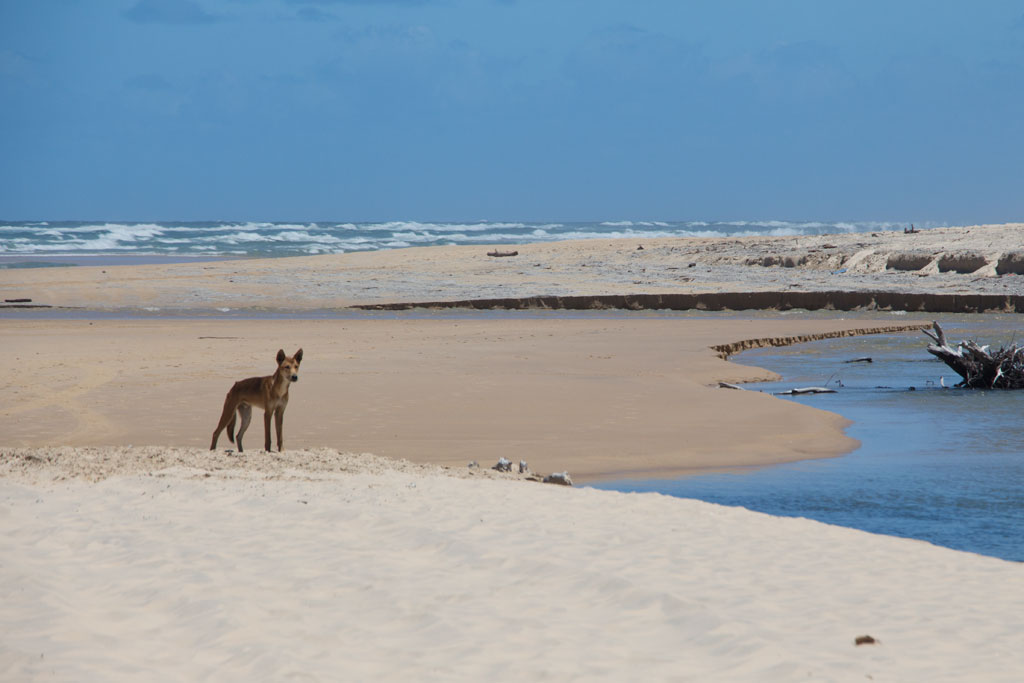 Australische Tierwelt – Dingo auf Fraser Island | SOMEWHERE ELSE