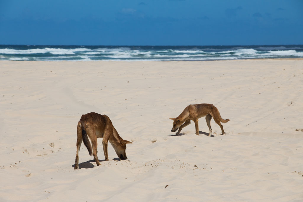 Australische Tierwelt – Dingos am Strand von Fraser Island | SOMEWHERE ELSE
