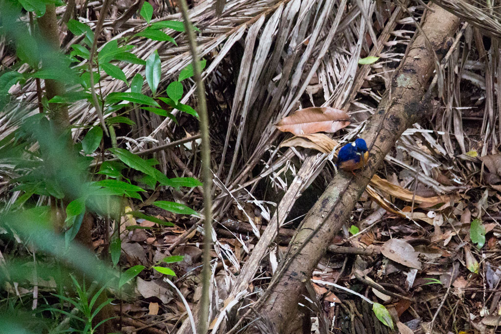 Australische Tierwelt – Eisvogel auf Fraser Island | SOMEWHERE ELSE