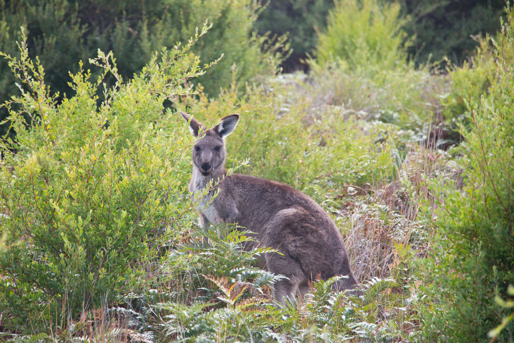 Australische Tierwelt – Känguru im Wilsons Promontory Nationalpark | SOMEWHERE ELSE