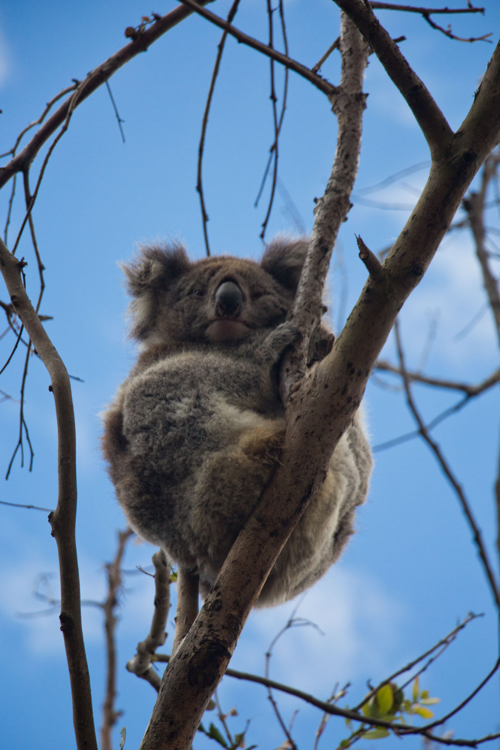 Australische Tierwelt – Koala in Kennett River | SOMEWHERE ELSE