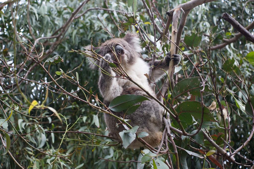 AuCamping Roadtrip durch Australien – Koala frisst Eukalyptus in Kennett River | SOMEWHERE ELSEstralische Tierwelt – Koala frisst Eukalyptus in Kennett River | SOMEWHERE ELSE