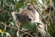 Die australische Tierwelt – Auf den Spuren von Kängurus, Koalas & Co.