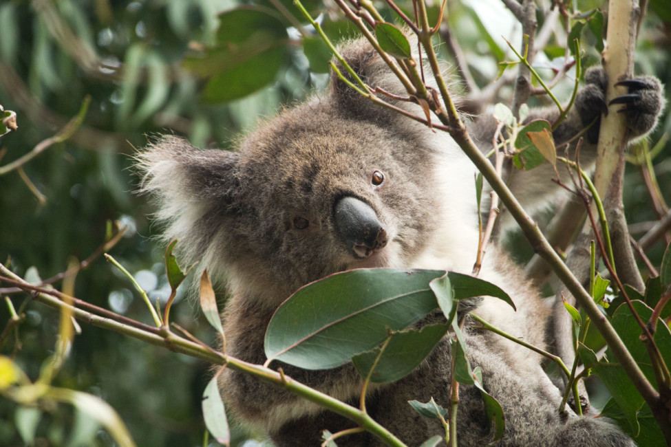 Australische Tierwelt – Koala im Baum in Kennett River | SOMEWHERE ELSE