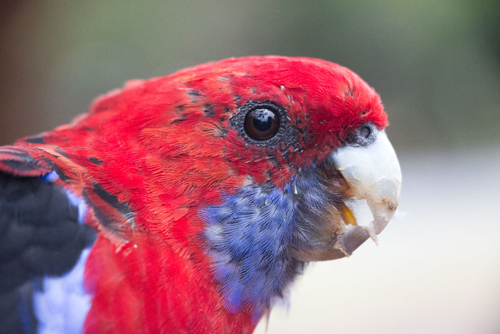 Australische Tierwelt – Pennantsittich in Kennett River | SOMEWHERE ELSE