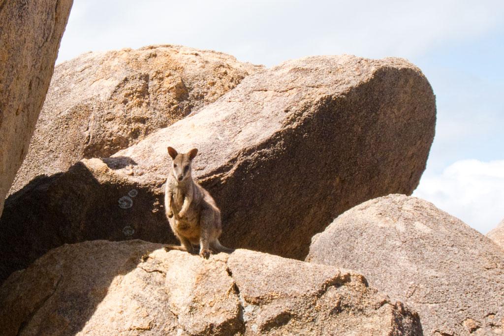 Australische Tierwelt – Wallaby auf Magnetic Island | SOMEWHERE ELSE