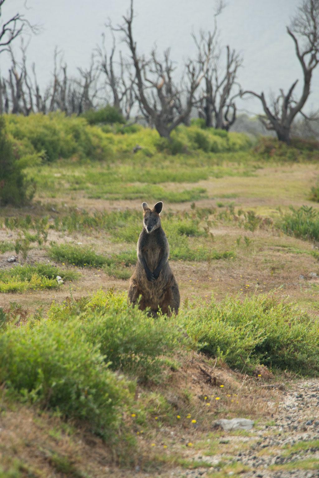 Australische Tierwelt – Wallaby im Wilsons Promontory Nationalpark | SOMEWHERE ELSE