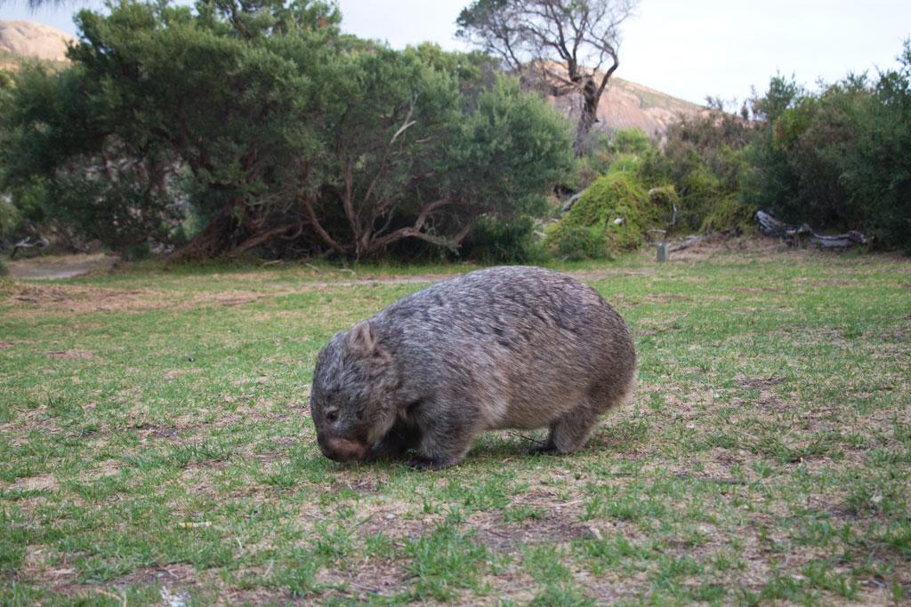 Australische Tierwelt – Wombat auf Futtersuche im Wilsons Promontory Nationalpark | SOMEWHERE ELSE
