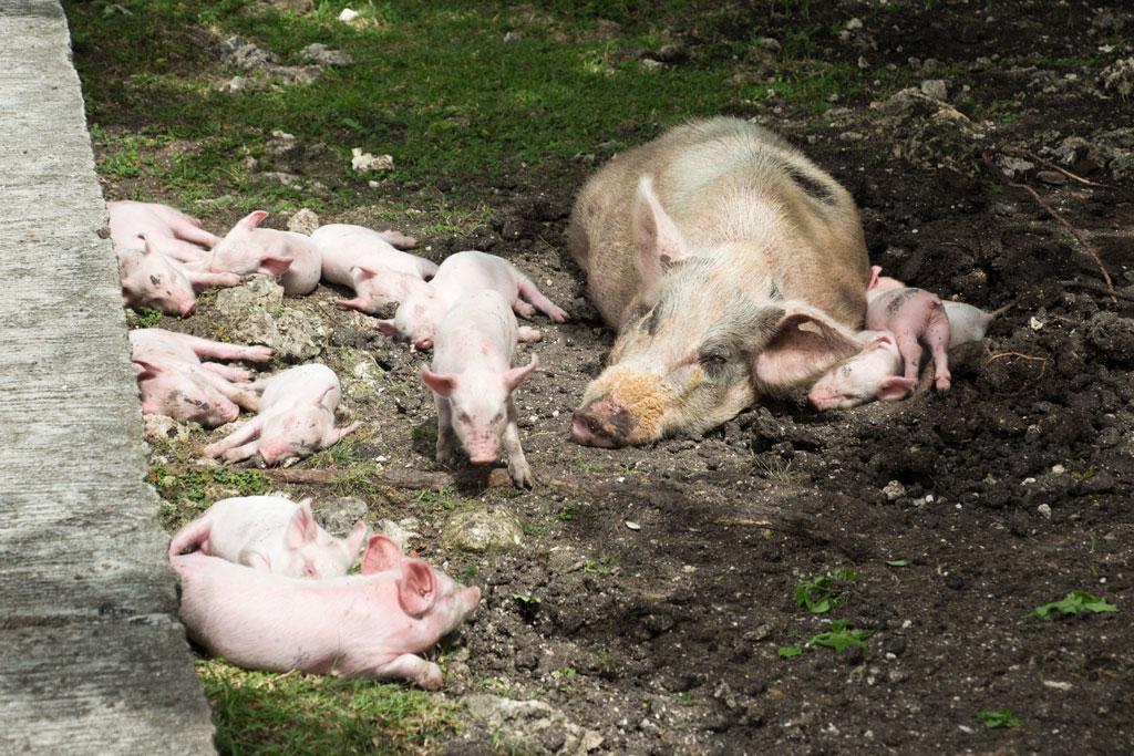 Pamilacan Island – Mutterschein und ihre Ferkel schlafen | SOMEWHERE ELSE