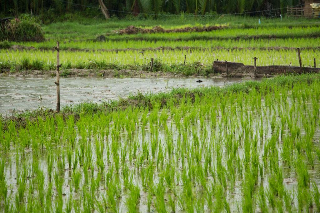 Philippinische Inseln – Reisfeld auf Bohol | SOMEWHERE ELSE