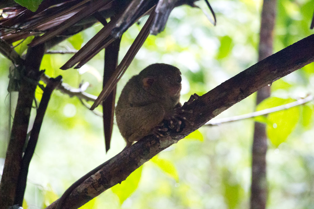 Philippinische Inseln – Tarsier auf Bohol | SOMEWHERE ELSE