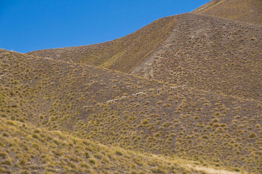 Neuseeland Südinsel Landschaften – Schafe in den Southern Alpes | SOMEWHERE ELSE