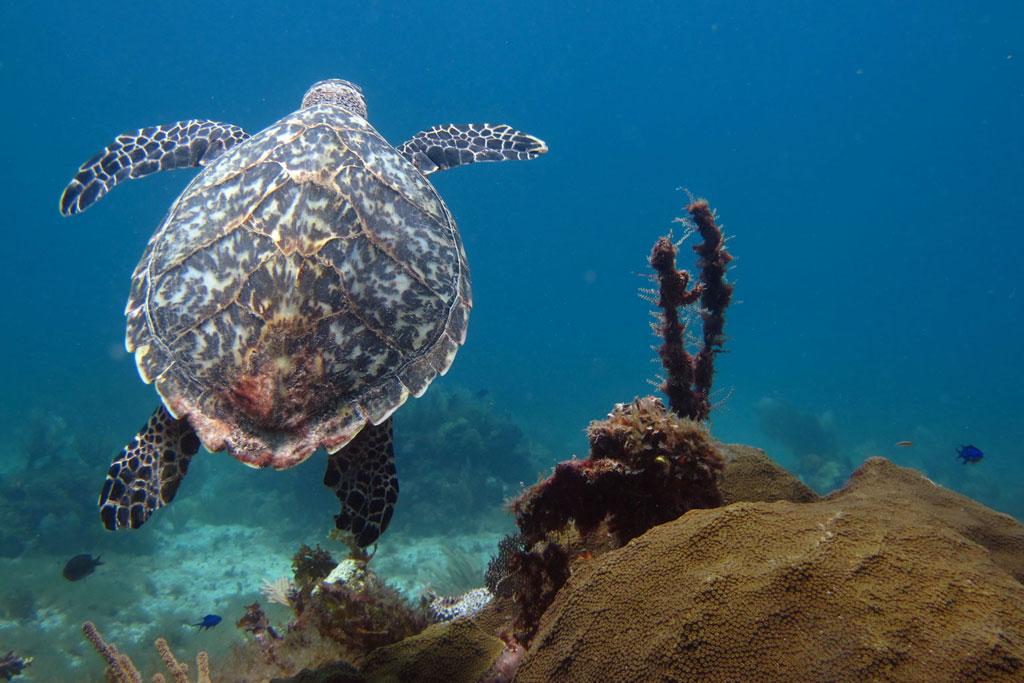 Tauchen in Mexiko – MUSA Unterwassermuseum schwimmende Schildkröte | SOMEWHERE ELSE