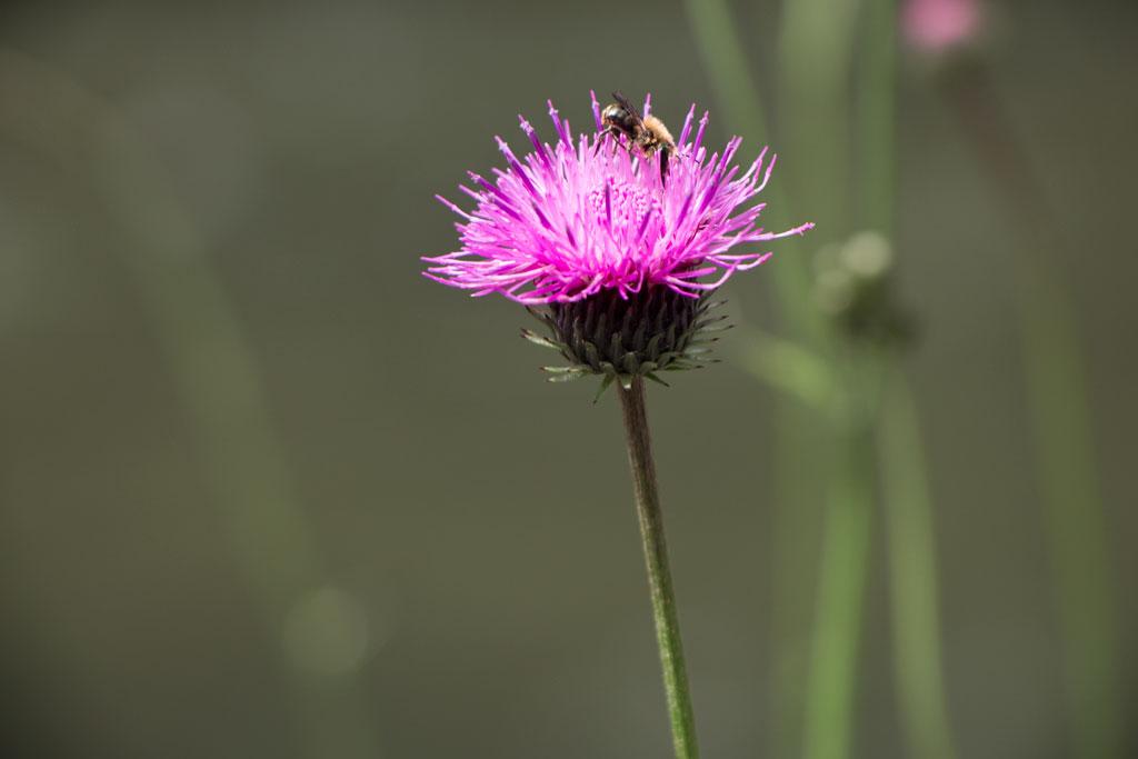Schweiz Jura – Areuse Schlucht Blüte mit Biene | SOMEWHERE ELSE