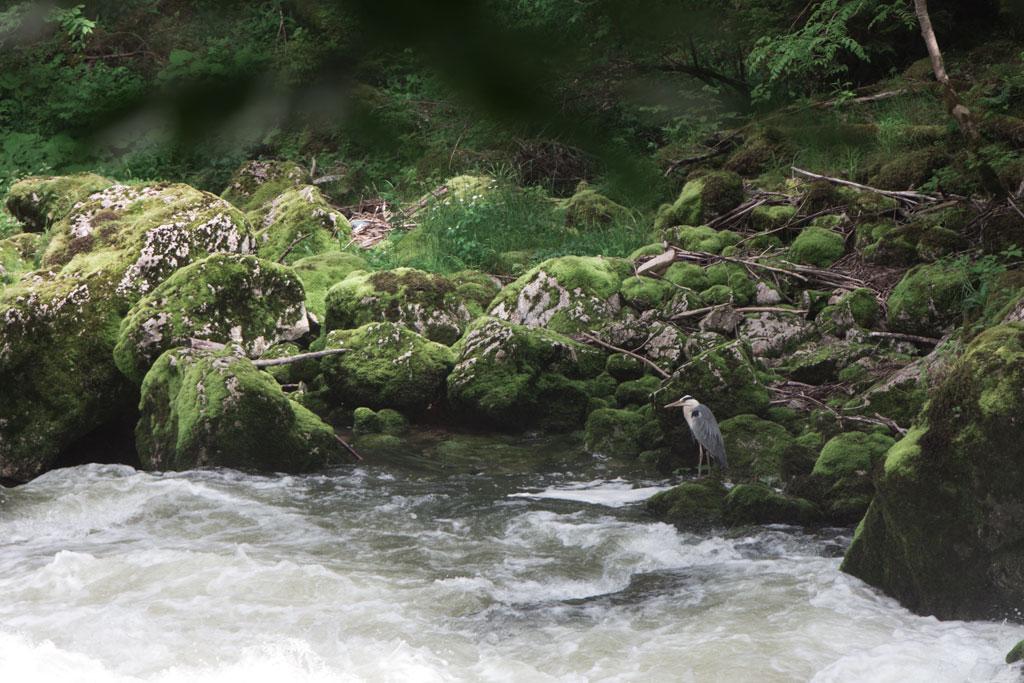 Schweiz Jura – Areuse Schlucht Fischreiher am Fluss | SOMEWHERE ELSE