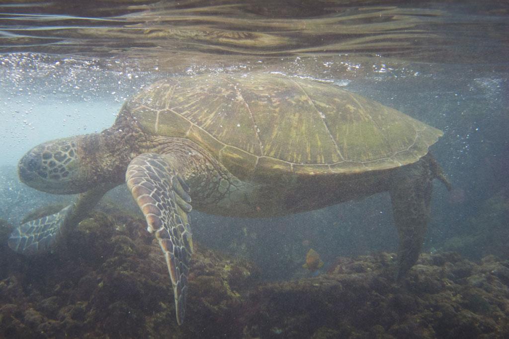 Maui Hawaii – Kaanapali Black Rock Schnorcheln mit Schildkröte | SOMEWHERE ELSE