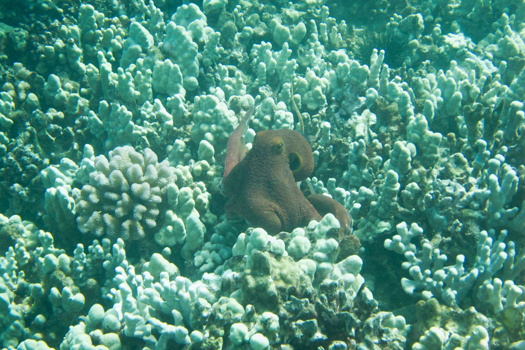 Maui Hawaii – Wailea Point Krake beim Tauchen | SOMEWHERE ELSE